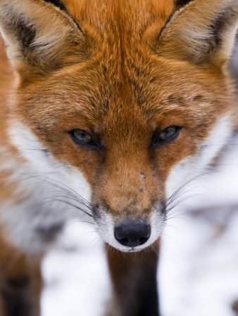 elliott-neep-red-fox-portrait-of-face-lancashire-uk