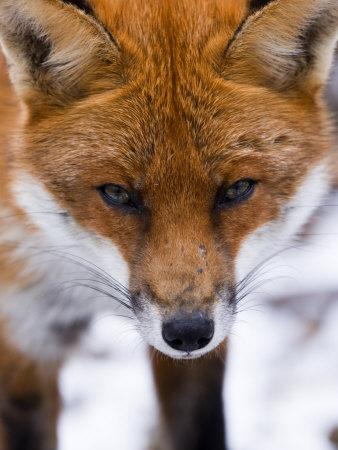 elliott-neep-red-fox-portrait-of-face-lancashire-uk